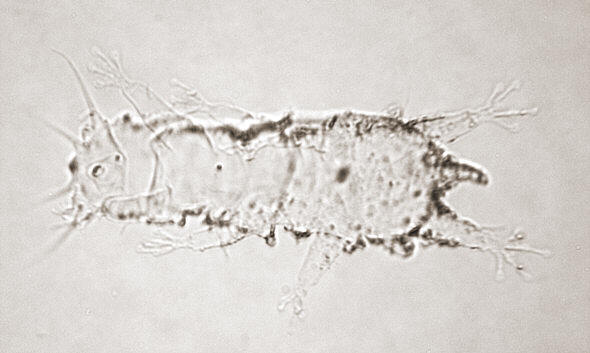 [ Cuticula of a Thai tardigrade ]